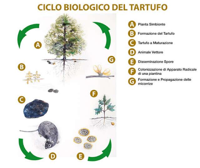 vita tartufo